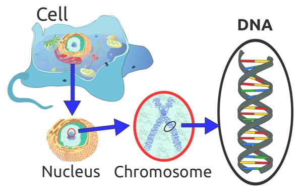 Genetica in erfelijke haaruitval
