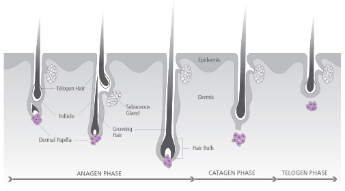 growth cycle hair